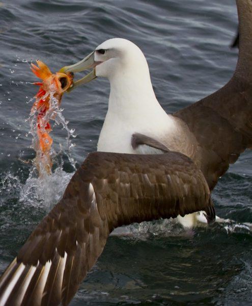 Albatros griber fisk